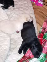 Labrador Retriever Puppies for sale in Sunbury, PA 17801, USA. price: NA