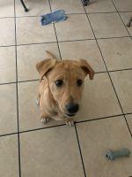Labrador Retriever Puppies for sale in 835 N Alvernon Way, Tucson, AZ 85711, USA. price: NA