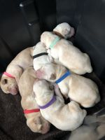 Labrador Retriever Puppies for sale in Pilot Hill, CA 95664, USA. price: NA