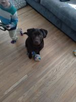 Labrador Retriever Puppies for sale in Rochester, NY, USA. price: NA