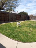 Labrador Retriever Puppies for sale in Atwater, CA 95301, USA. price: NA
