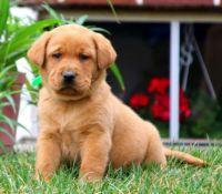 Labrador Retriever Puppies for sale in Minneapolis, MN 55424, USA. price: NA