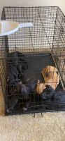Labrador Retriever Puppies for sale in St. Louis, MO, USA. price: NA