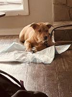 Labrador Retriever Puppies for sale in Stone Mountain, GA, USA. price: NA