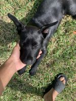 Labrador Retriever Puppies for sale in Humble, TX, USA. price: NA