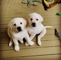 Labrador Retriever Puppies for sale in Texas Plaza Dr, Irving, TX 75062, USA. price: NA