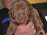 Labrador Retriever Puppies for sale in California City, CA, USA. price: NA