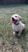 Labrador Retriever Puppies for sale in Hampton, VA, USA. price: NA
