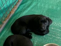 Labrador Retriever Puppies for sale in Hickory, NC, USA. price: NA