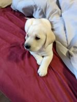 Labrador Retriever Puppies for sale in Pahrump, NV, USA. price: NA