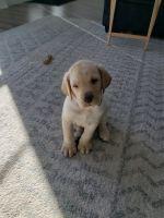 Labrador Retriever Puppies for sale in Millsboro, DE 19966, USA. price: NA