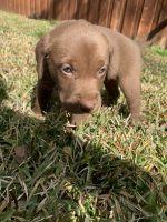 Labrador Retriever Puppies for sale in Seagoville, TX, USA. price: NA