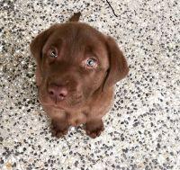 Labrador Retriever Puppies for sale in Northridge, Los Angeles, CA, USA. price: NA