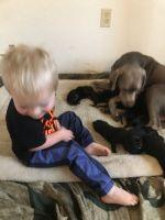 Labrador Retriever Puppies for sale in 76117 Denton Hwy, Haltom City, TX 76117, USA. price: NA