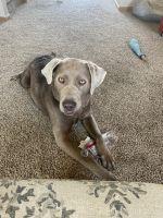 Labrador Retriever Puppies for sale in Omaha, NE 68136, USA. price: NA