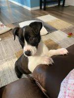 Labrador Retriever Puppies for sale in Springboro, OH 45066, USA. price: NA