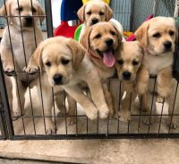 Labrador Retriever Puppies for sale in Laplace, LA, USA. price: NA