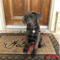 Labrador Retriever Puppies for sale in Texarkana, TX, USA. price: NA