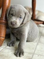 Labrador Retriever Puppies for sale in Mount Joy, PA 17552, USA. price: NA