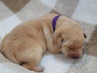 Labrador Retriever Puppies for sale in Lotze Creek Rd, Washington 99114, USA. price: NA
