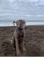 Labrador Retriever Puppies for sale in San Rafael, CA, USA. price: NA