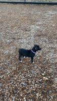 Labrador Retriever Puppies for sale in Newton, NJ 07860, USA. price: NA