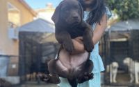 Labrador Retriever Puppies for sale in Los Angeles, CA, USA. price: NA