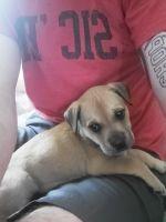 Labrador Retriever Puppies for sale in Canton, GA, USA. price: NA