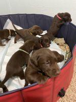 Labrador Retriever Puppies for sale in Pueblo, CO, USA. price: NA