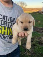 Labrador Retriever Puppies for sale in Brunswick, MO 65236, USA. price: NA