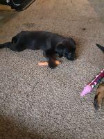 Labrador Retriever Puppies for sale in Virginia Beach, VA, USA. price: NA