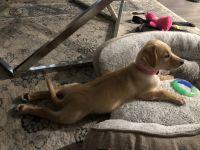 Labrador Retriever Puppies for sale in Temple City, CA, USA. price: NA
