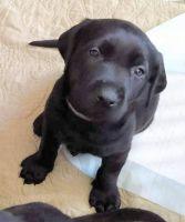 Labrador Retriever Puppies for sale in Gretna, NE 68028, USA. price: NA