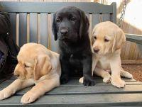 Labrador Retriever Puppies for sale in Chicago, IL, USA. price: NA