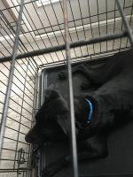 Labrador Retriever Puppies for sale in 2511 Heather Brook Ln, Arlington, TX 76006, USA. price: NA