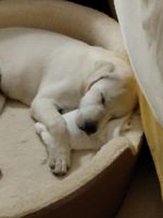 Labrador Retriever Puppies for sale in Kissimmee, FL, USA. price: NA