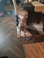 Labrador Retriever Puppies for sale in Milwaukee, WI, USA. price: NA