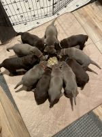 Labrador Retriever Puppies for sale in Columbus, OH, USA. price: NA