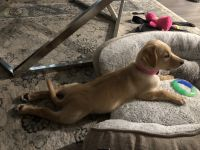 Labrador Retriever Puppies for sale in Temple City, CA, USA. price: NA