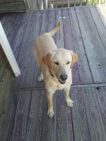 Labrador Retriever Puppies for sale in Elizabeth, CO 80107, USA. price: NA