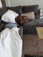 Labrador Retriever Puppies for sale in Oviedo, FL, USA. price: NA