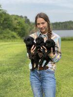 Labrador Retriever Puppies for sale in 7783 FM415, Timpson, TX 75975, USA. price: NA