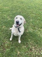 Labrador Retriever Puppies for sale in Belton, TX, USA. price: NA