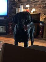 Labrador Retriever Puppies for sale in New Iberia, LA, USA. price: NA