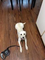 Labrador Retriever Puppies for sale in Portland, OR 97203, USA. price: NA