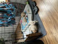 Labrador Retriever Puppies for sale in Woodridge, IL, USA. price: NA