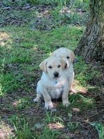 Labrador Retriever Puppies for sale in 4288 MS-7, Coffeeville, MS 38922, USA. price: NA