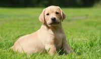 Labrador Retriever Puppies for sale in Okanogan, WA 98840, USA. price: NA