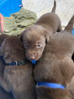 Labrador Retriever Puppies for sale in Cleveland, TN, USA. price: NA