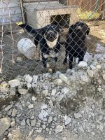 Labrador Retriever Puppies for sale in Piru, CA 93040, USA. price: NA